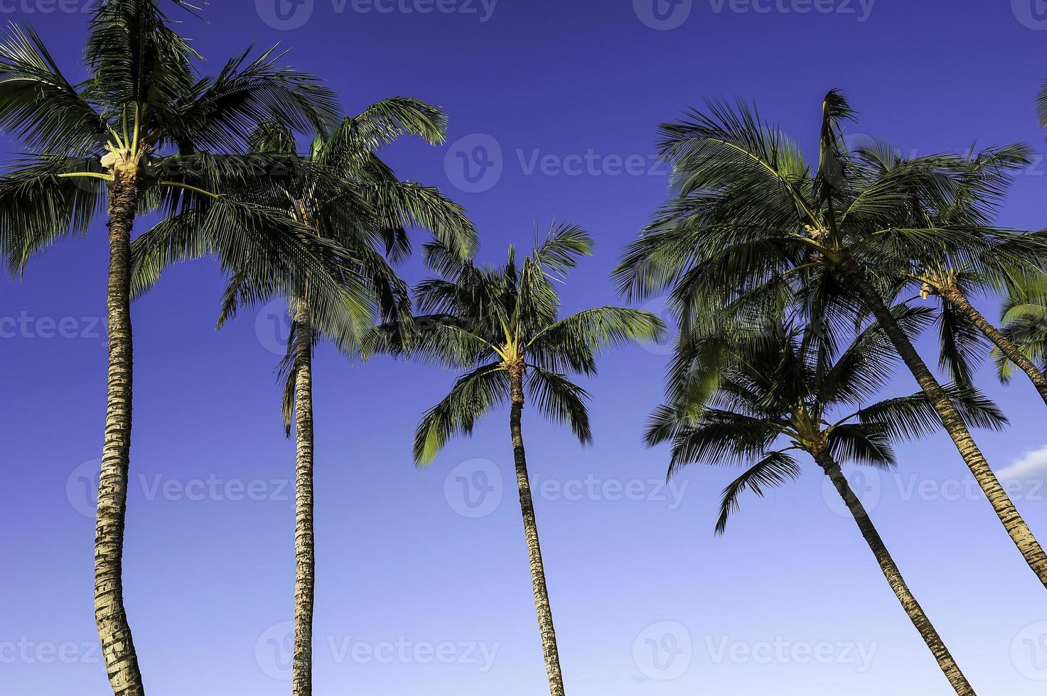 palmeras kailua-kona foto