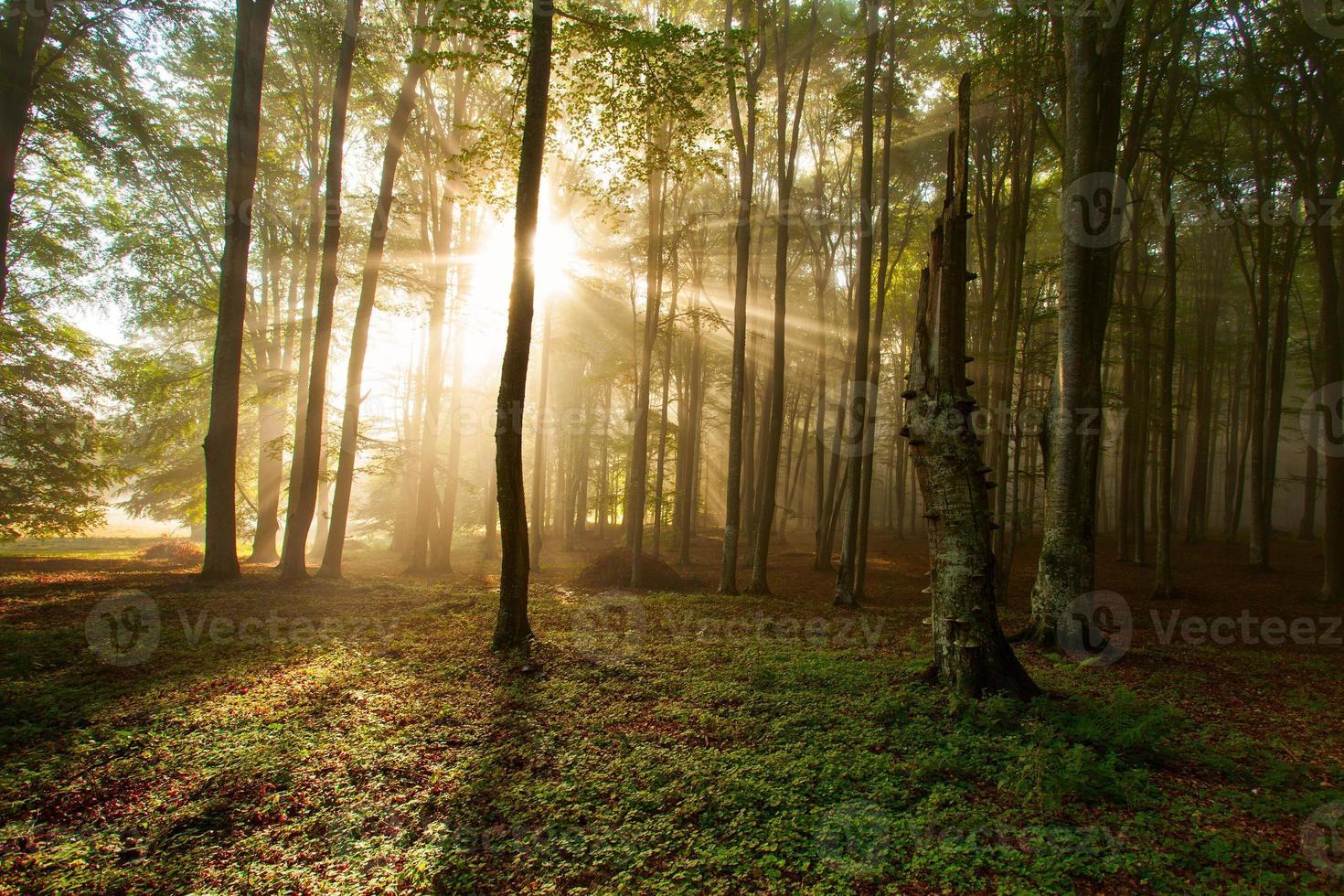 Árboles del bosque otoñal. naturaleza verde madera luz del sol fondos. foto