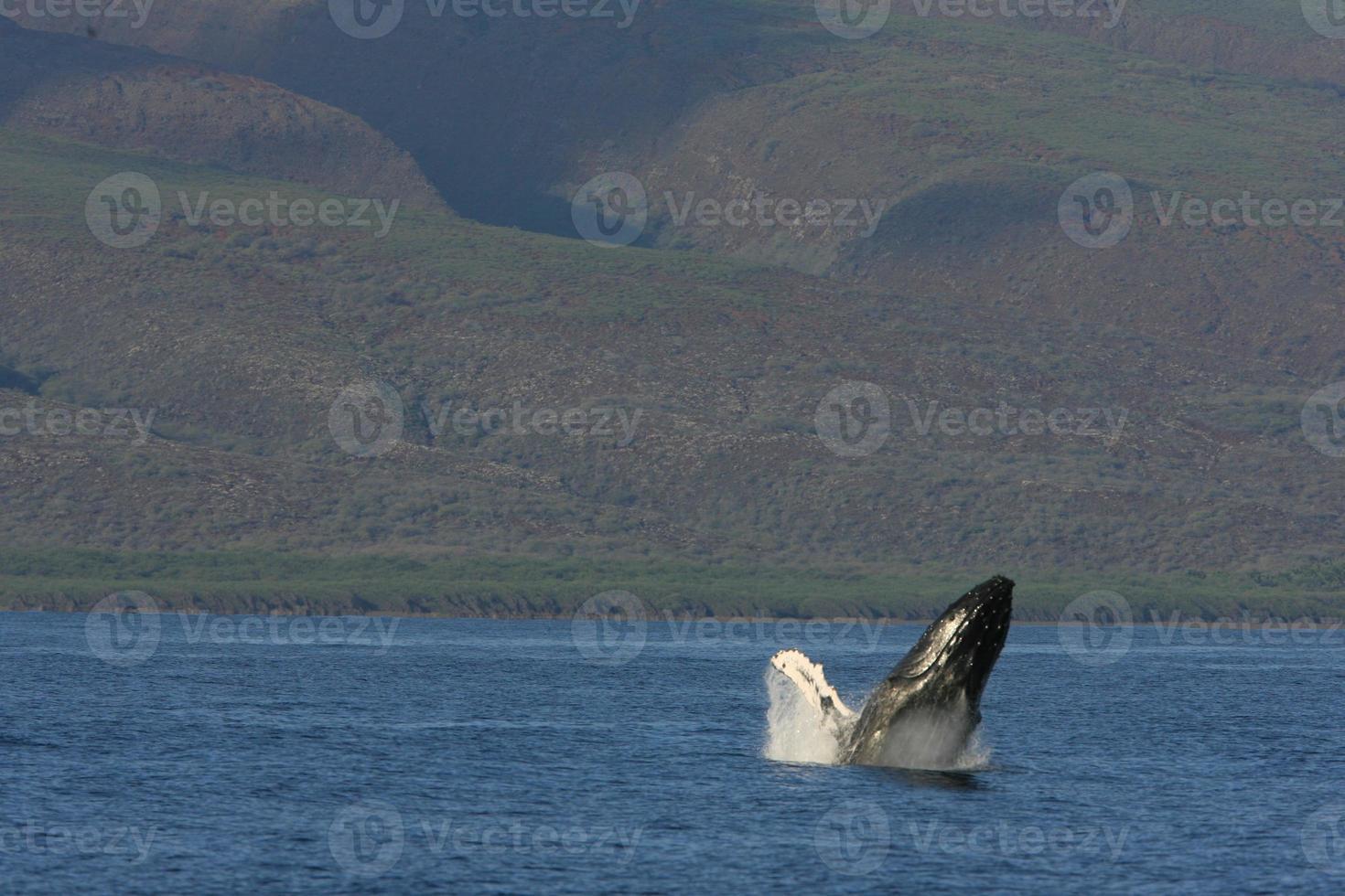 Humpback Breach photo