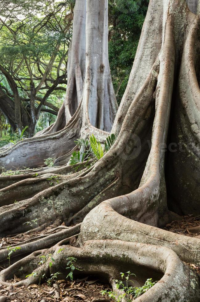 Moreton Bay Fig tree roots photo