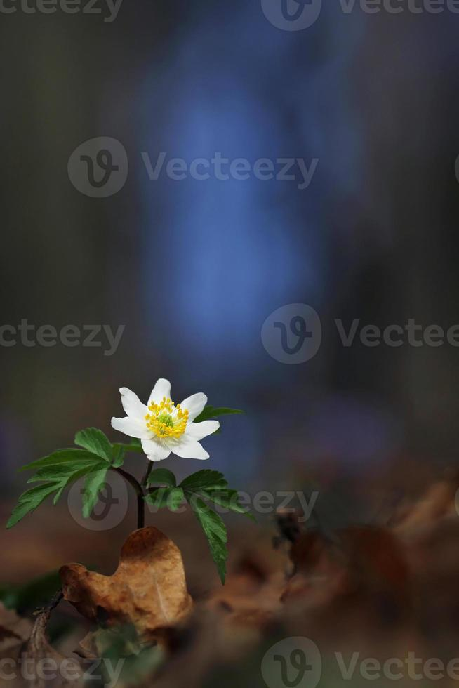 Wood anemone photo
