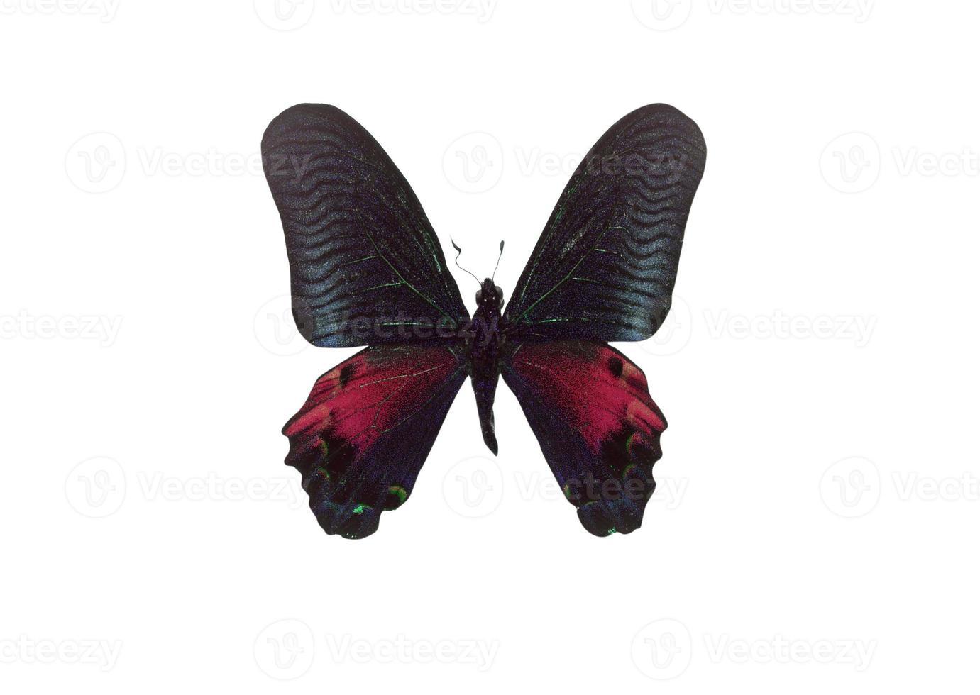 Mariposa de color negro. aislado sobre fondo blanco foto