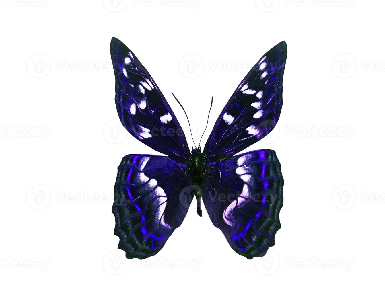 Mariposa de color oscuro con alas violetas. aislado sobre fondo blanco foto