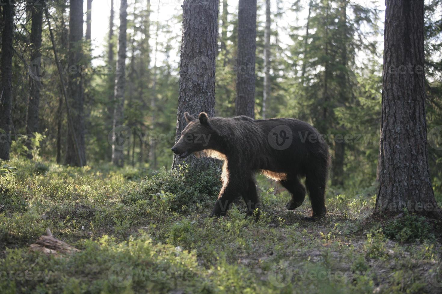 Europese bruine beer, ursus arctos foto