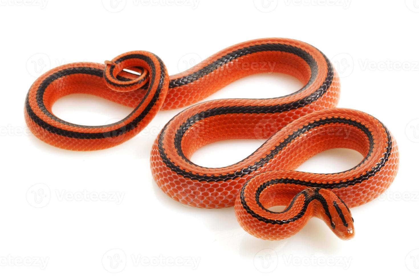 serpiente de rata de bambú tailandés foto