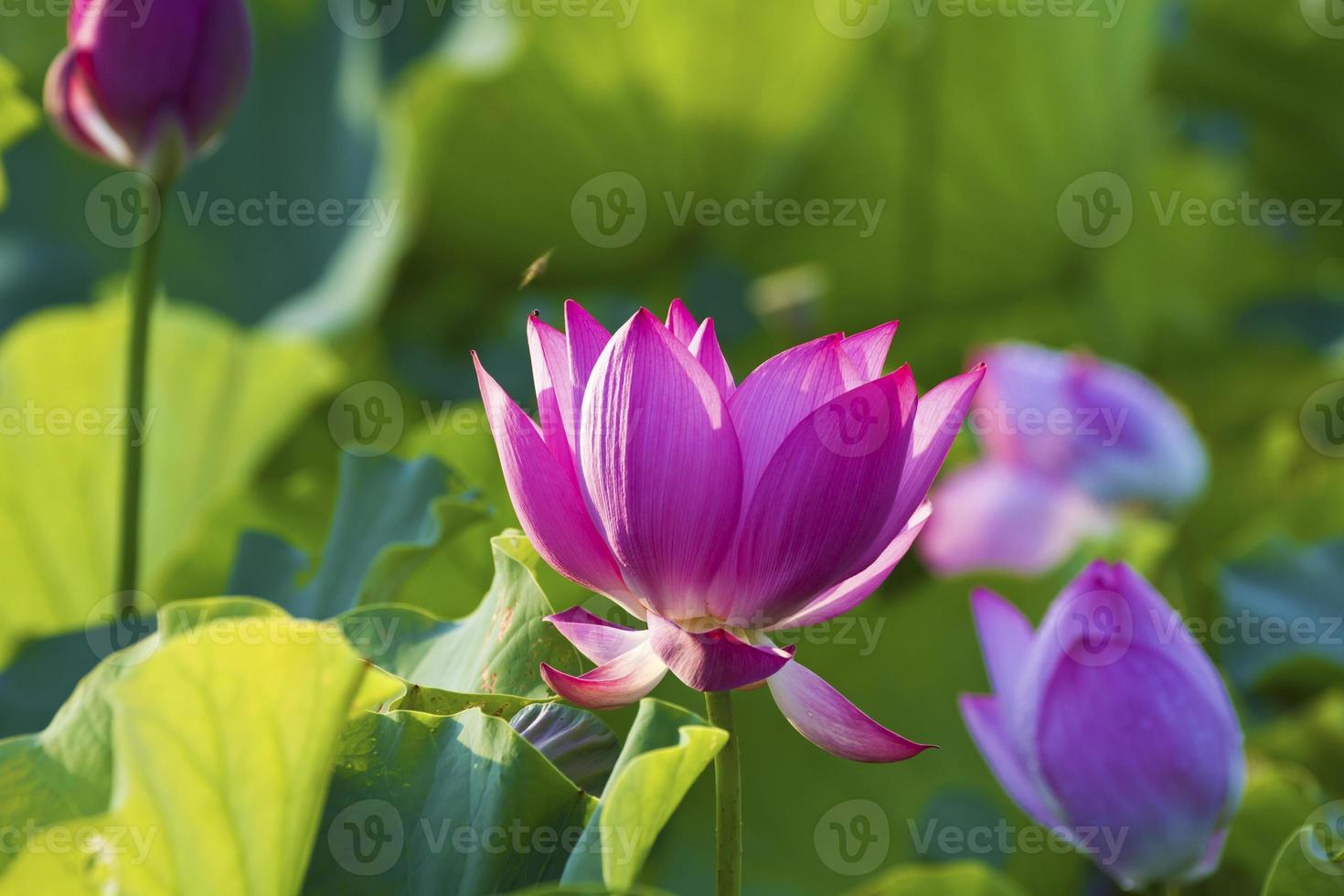 flor de loto bajo la luz solar foto