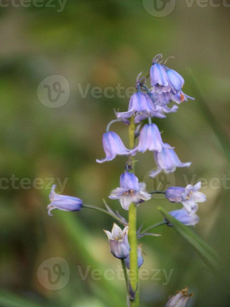 Blue bells photo