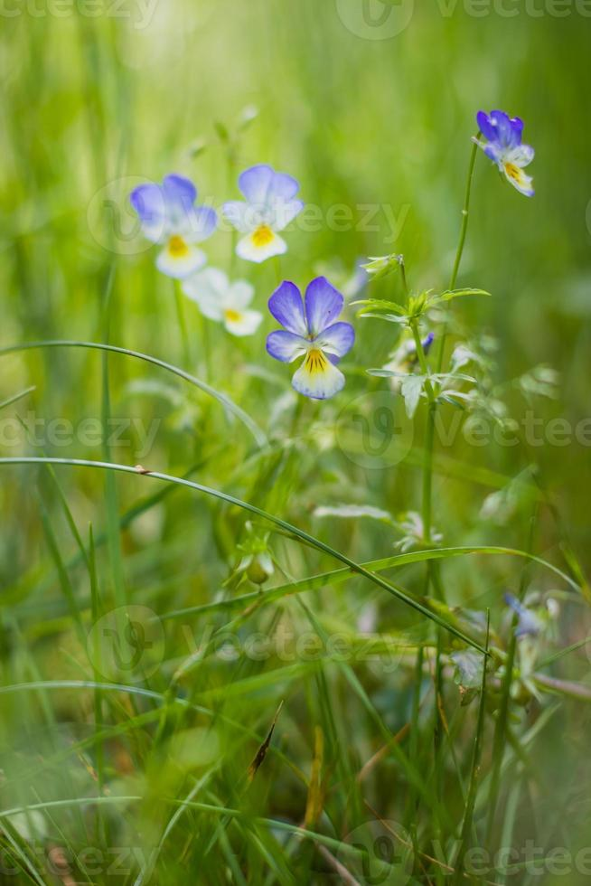 Wildflowers viola tricolor growing in thick grass photo