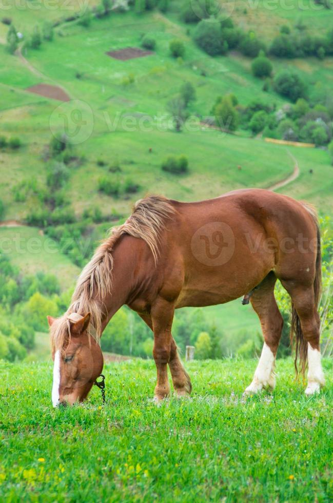 Horse grazing photo