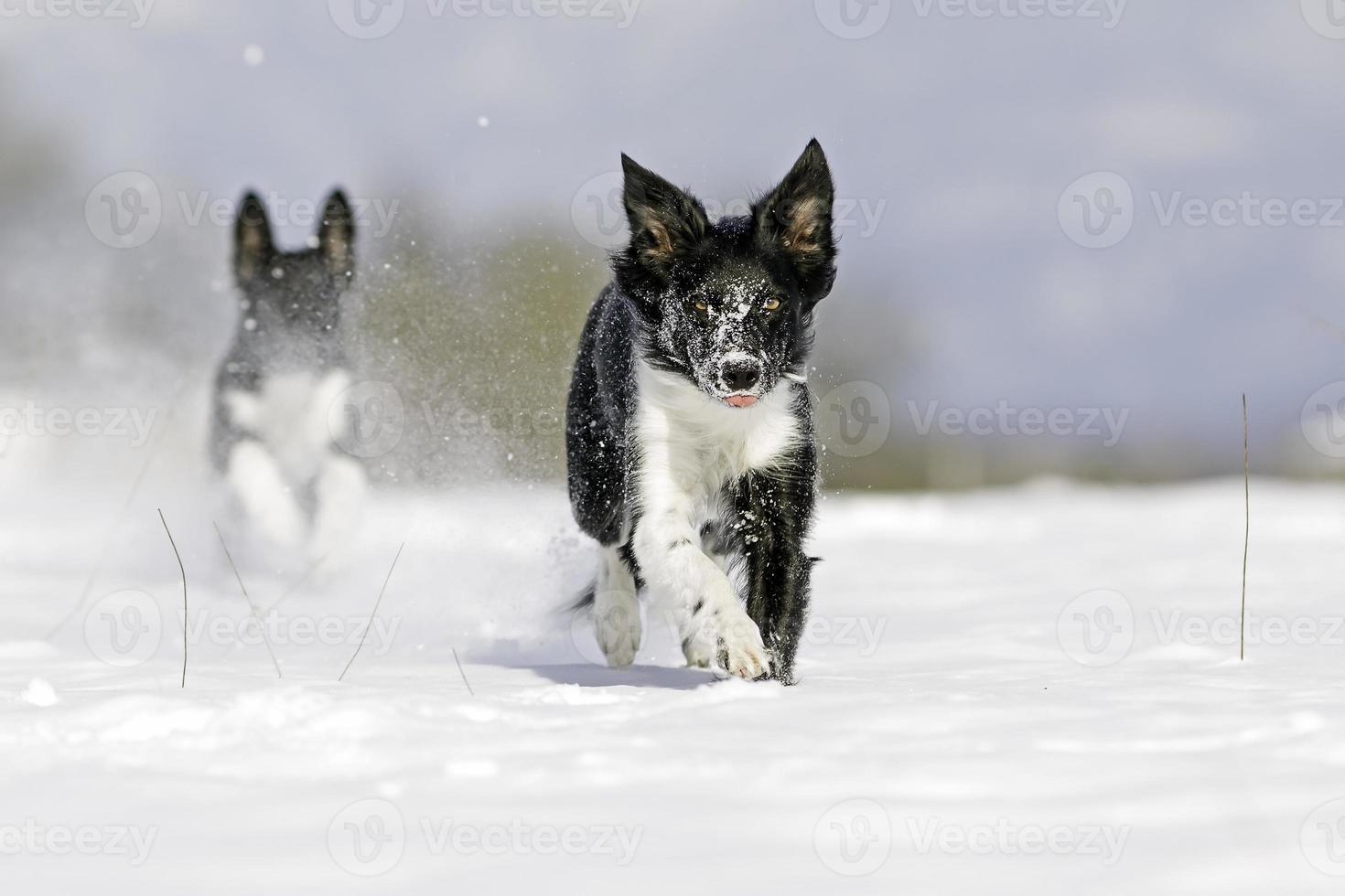 Border collie enjoying snow. photo