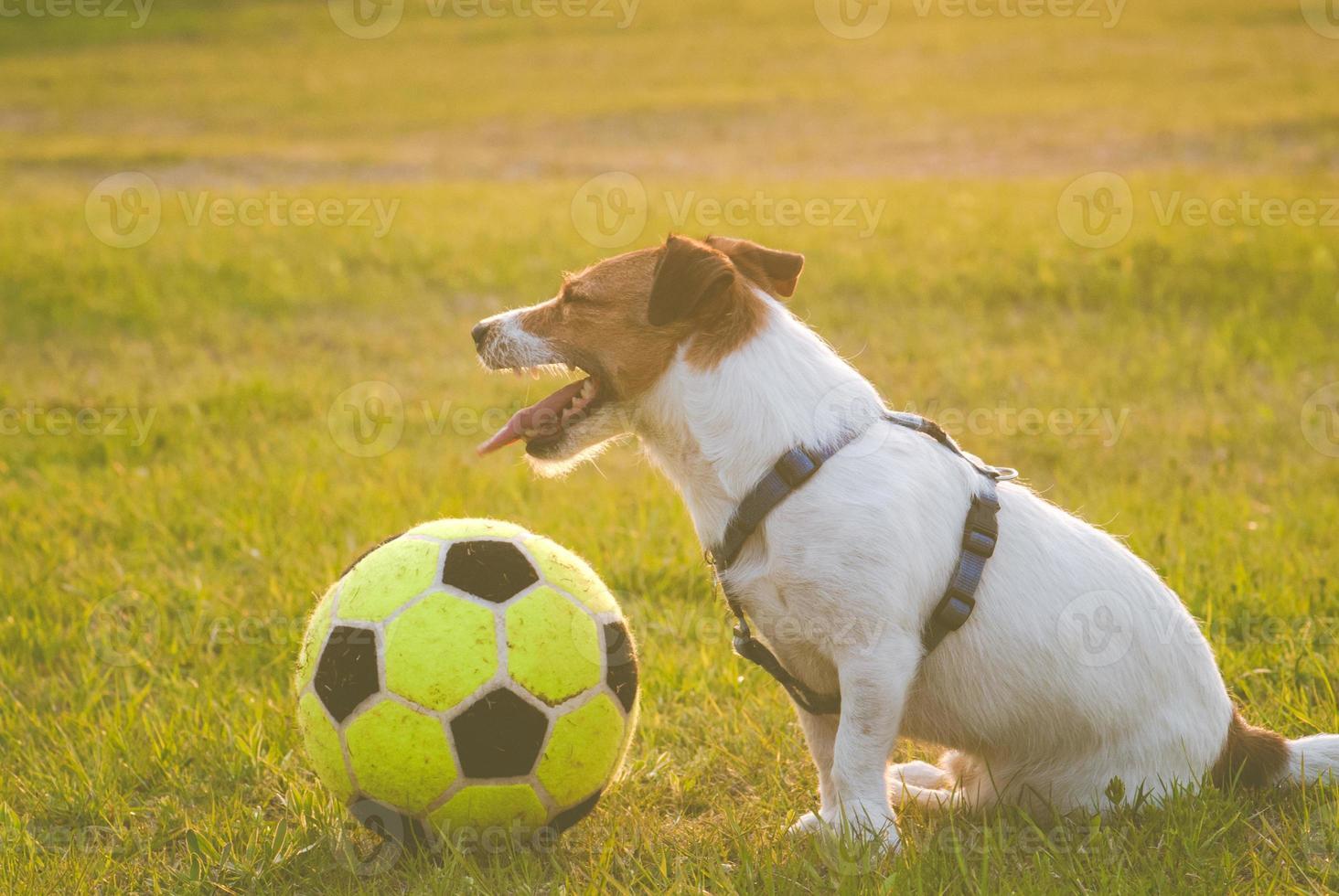 perro cansado con una pelota foto