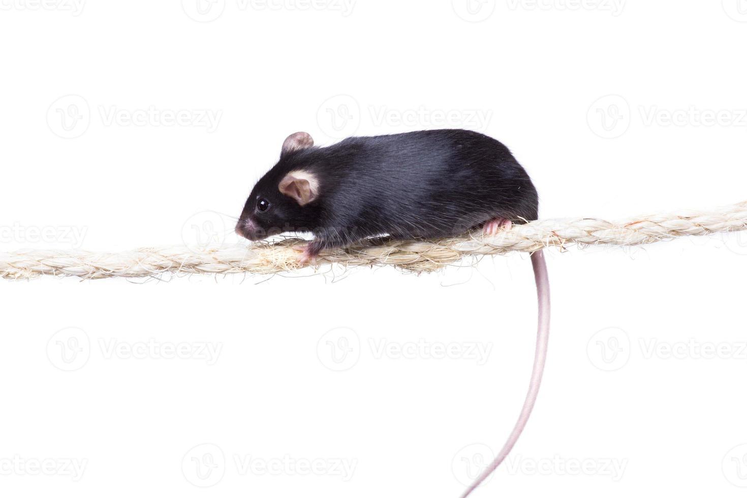 Ratón de laboratorio negro sobre una cuerda. fondo blanco aislado foto