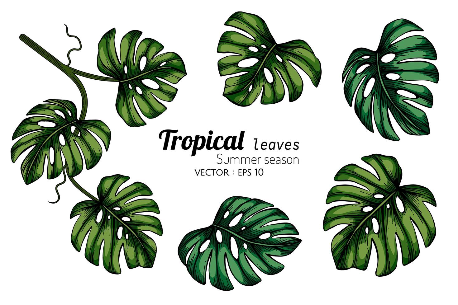 Set Of Monstera Tropical Leaf Drawing Download Free Vectors Clipart Graphics Vector Art In this post, i have explained my obsession on these tropical monstera leaves. set of monstera tropical leaf drawing