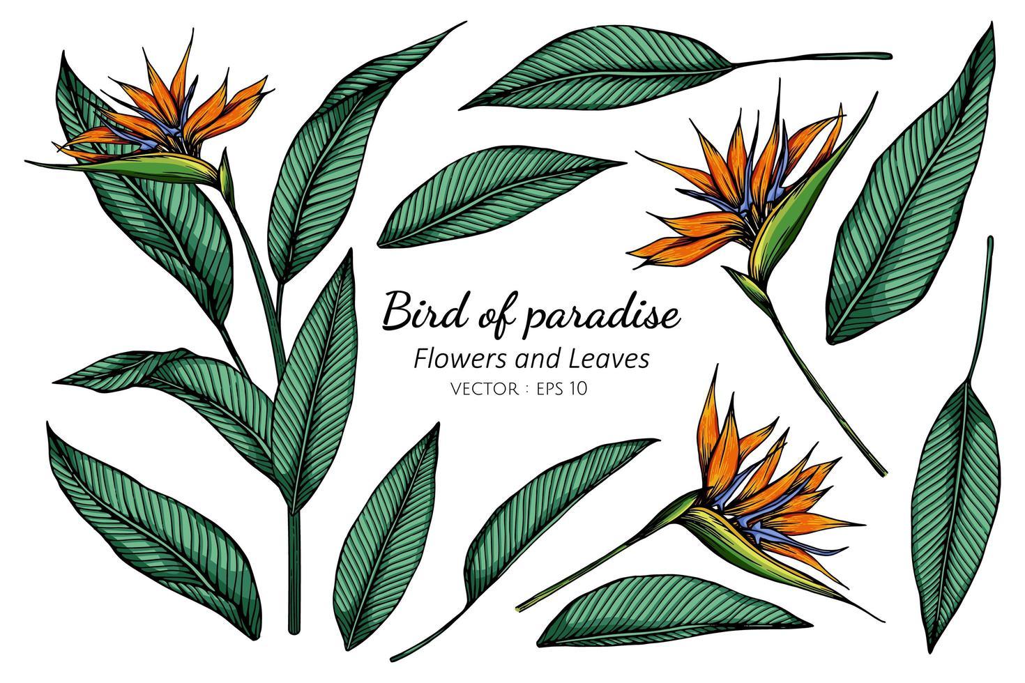 set di disegno del fiore uccello del paradiso vettore