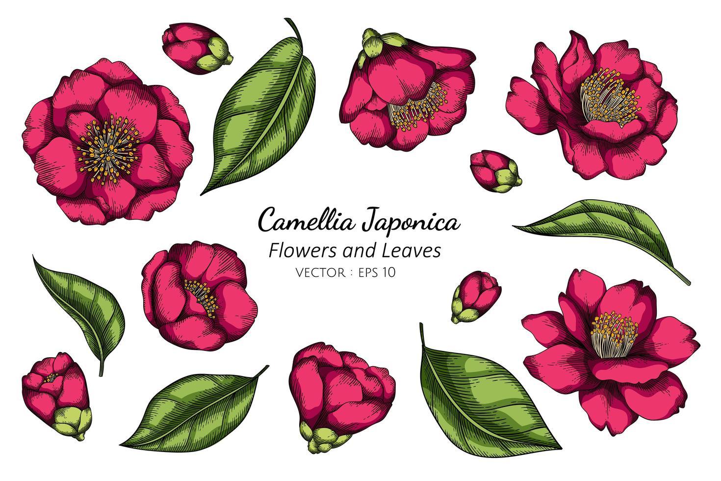 rose camélia japonica fleur dessin vecteur