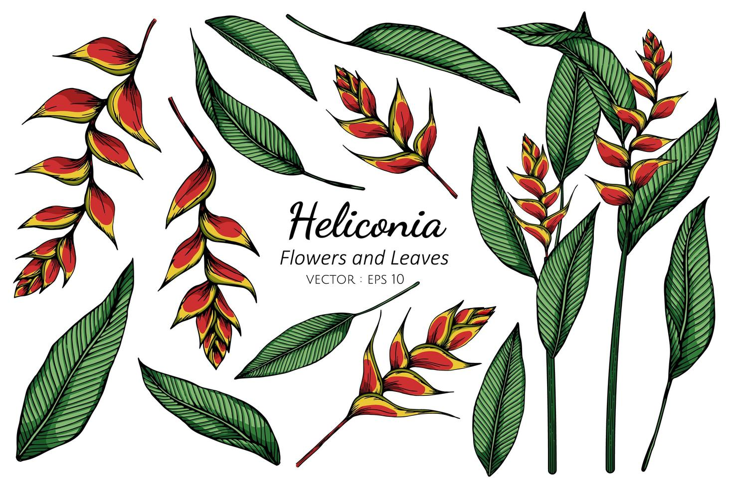 Set of Heliconia Flower Illustration vector