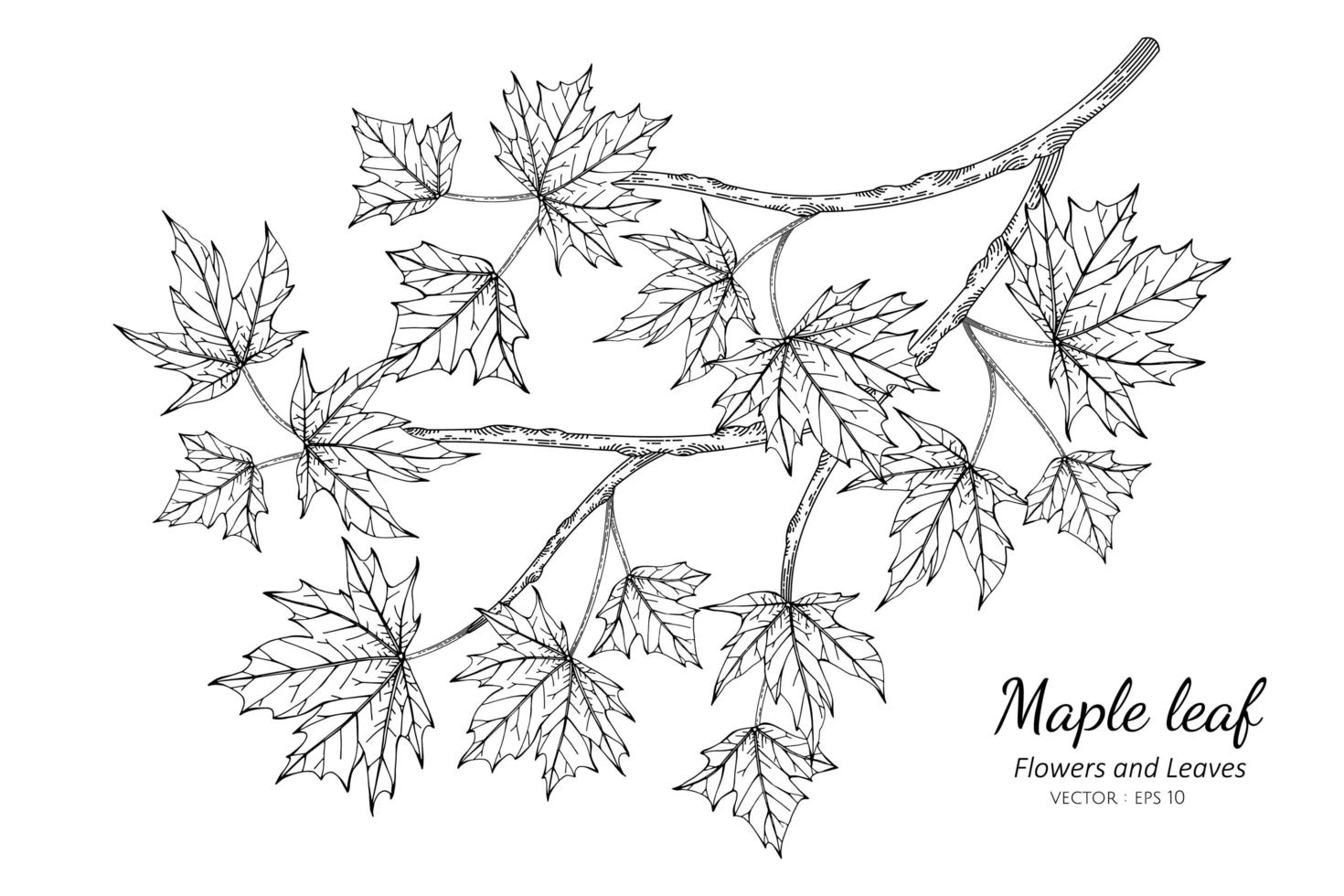 Maple Leaf Drawing Illustration vector