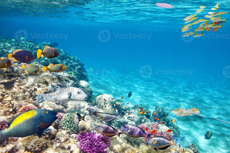 Peces tropicales nadando en aguas azules en los arrecifes de coral foto