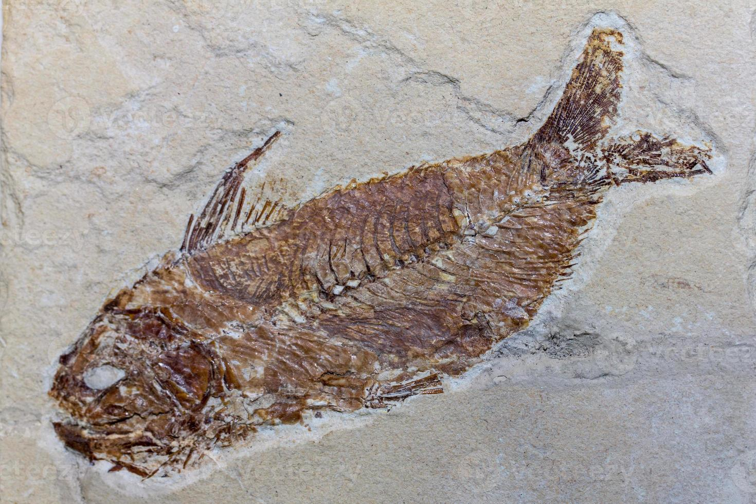 Fossil Fish photo