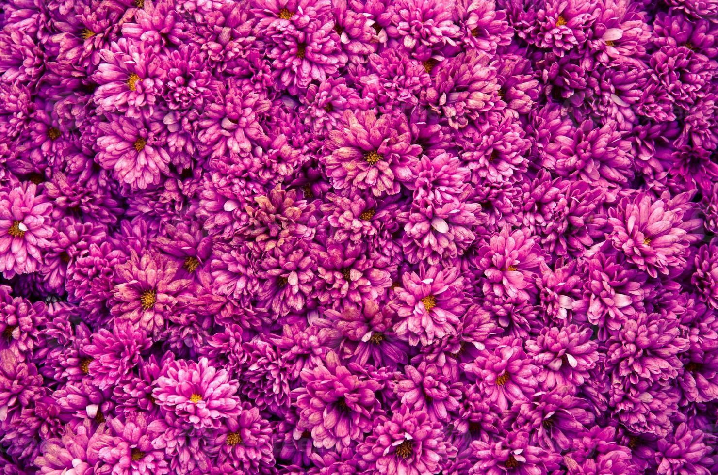 chrysanthemum background photo