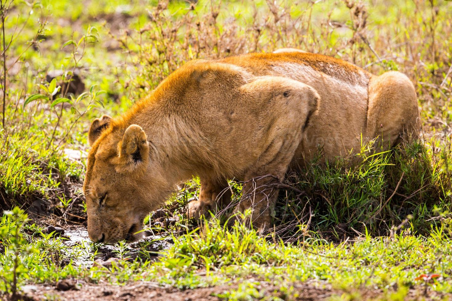 leeuw drinken foto