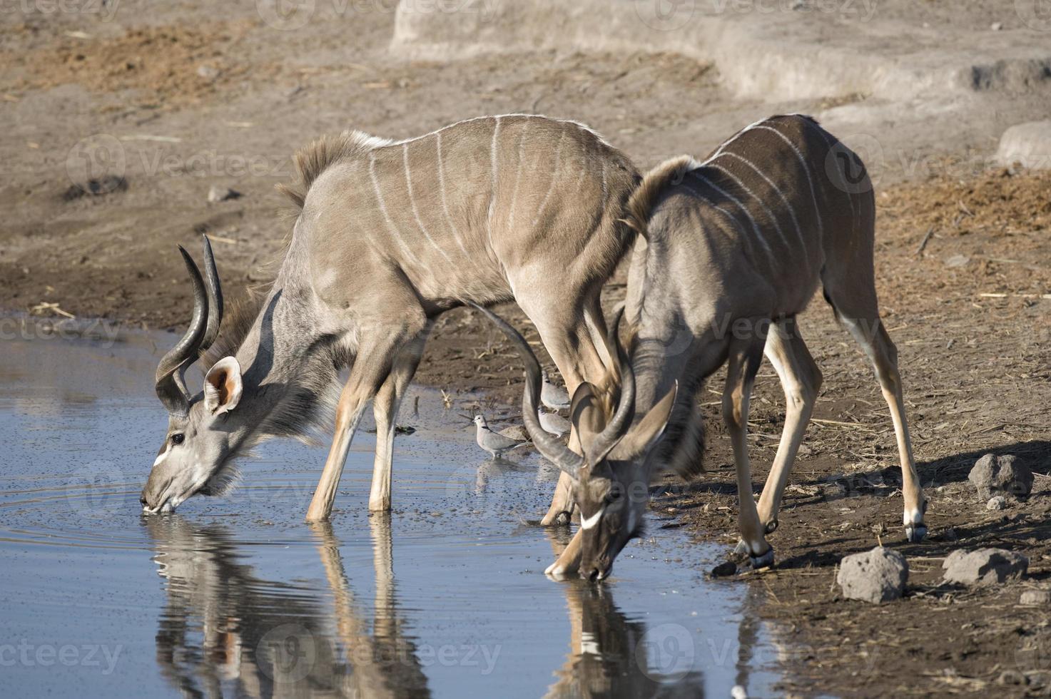 kudu bebendo foto