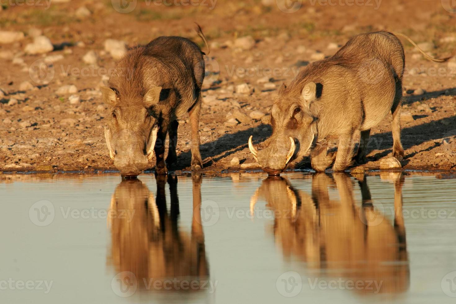 Warthogs drinking photo