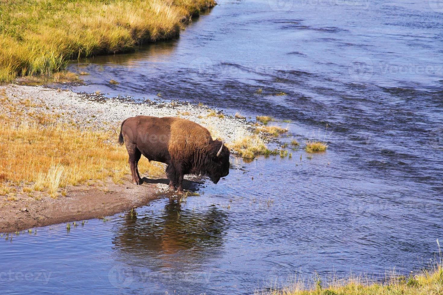 The bison drinks water photo