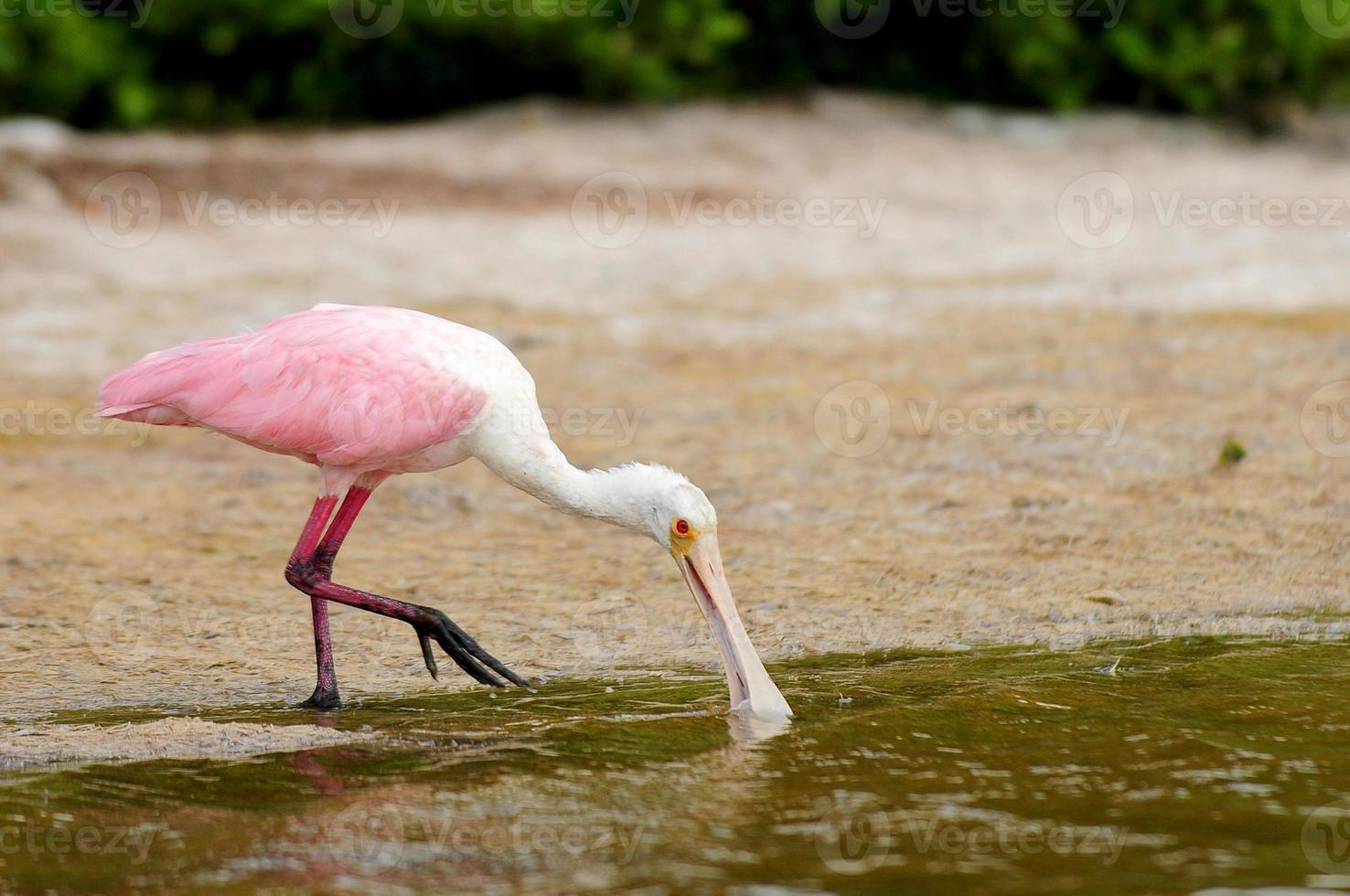 roseate spoonbill drinking water photo