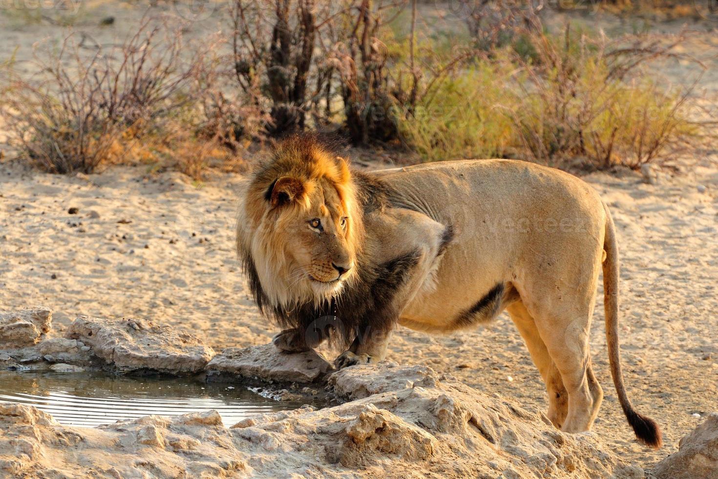 Black mane lion drinking photo