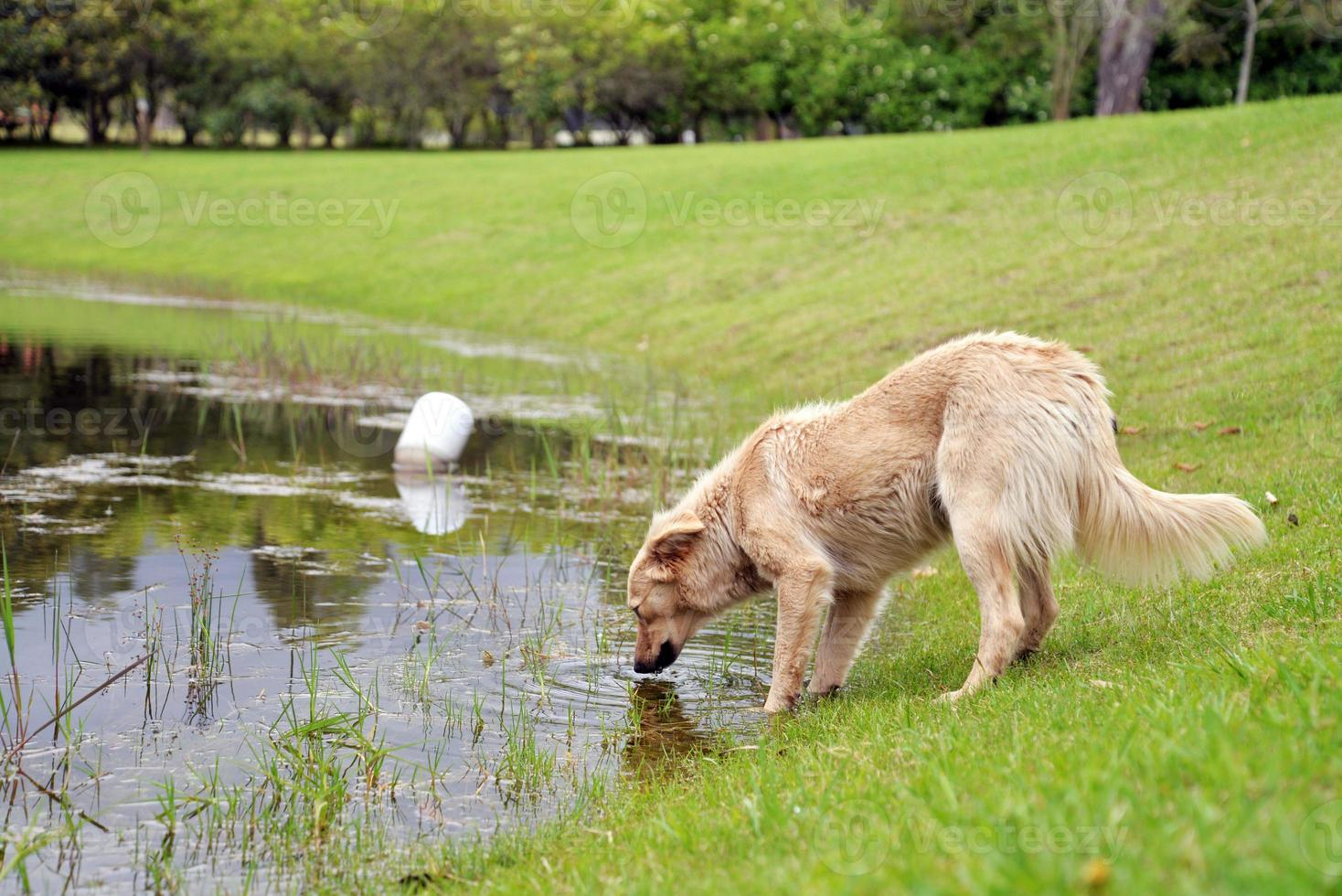 Dog drinking Water photo