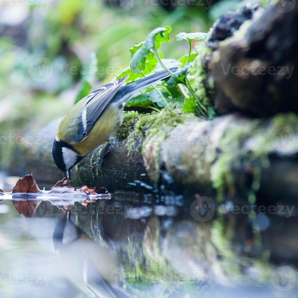 Great tit drinking water photo
