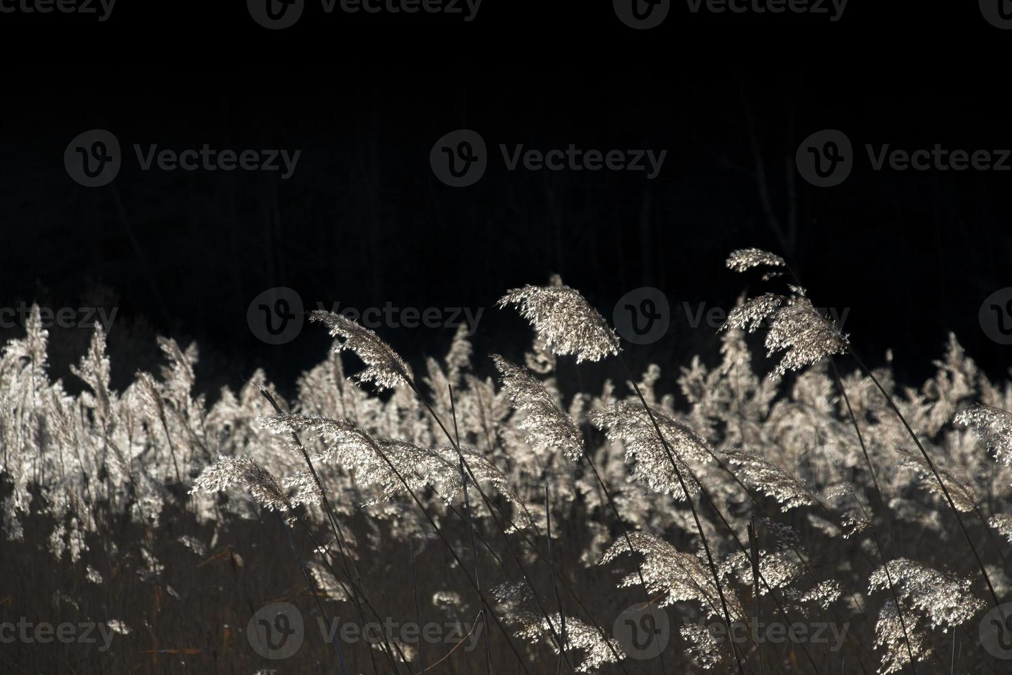 cañas secas retroiluminadas foto