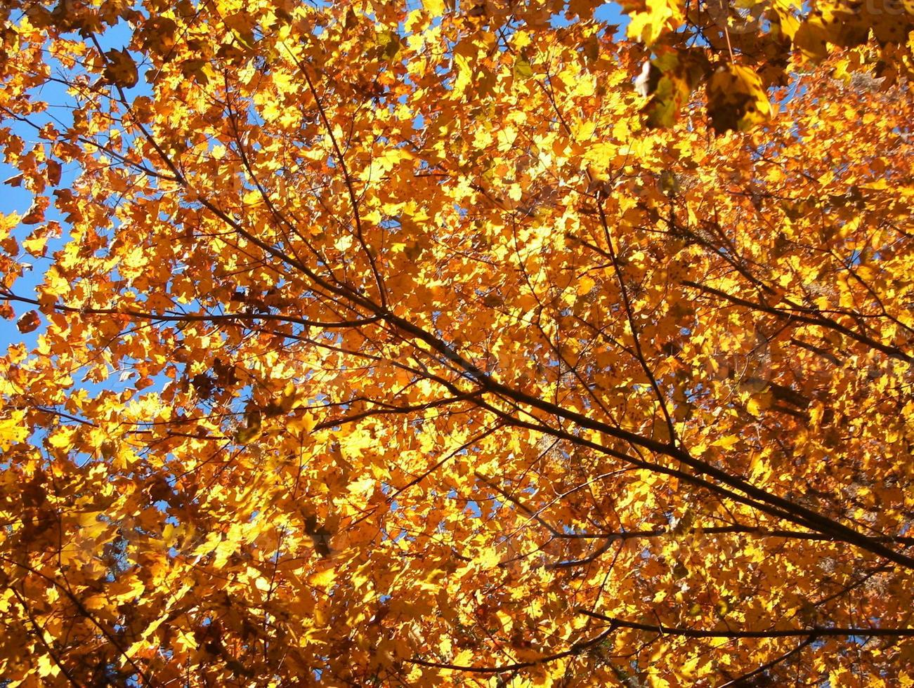 Golden colors in back lit tree canopy photo