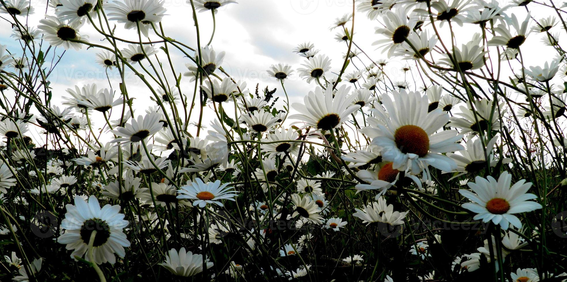 Daisy and more Daisies photo