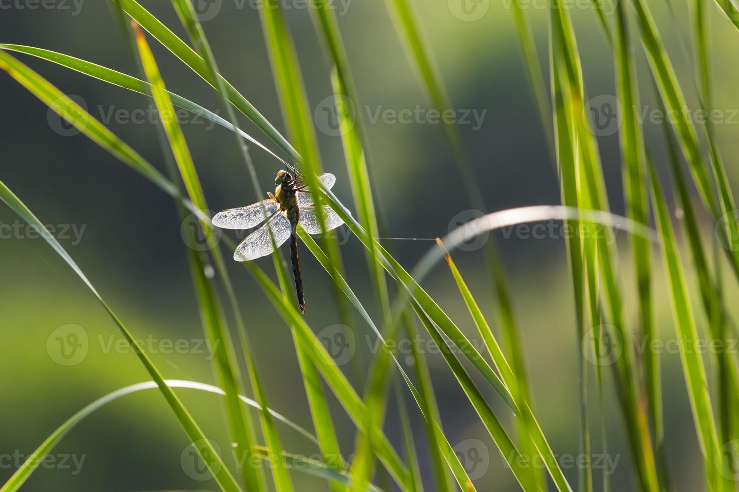 libélula retroiluminada en cañas verdes. foto