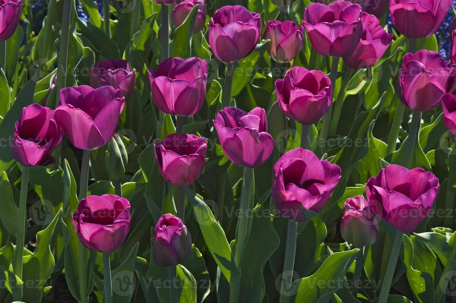 tulipanes morados foto