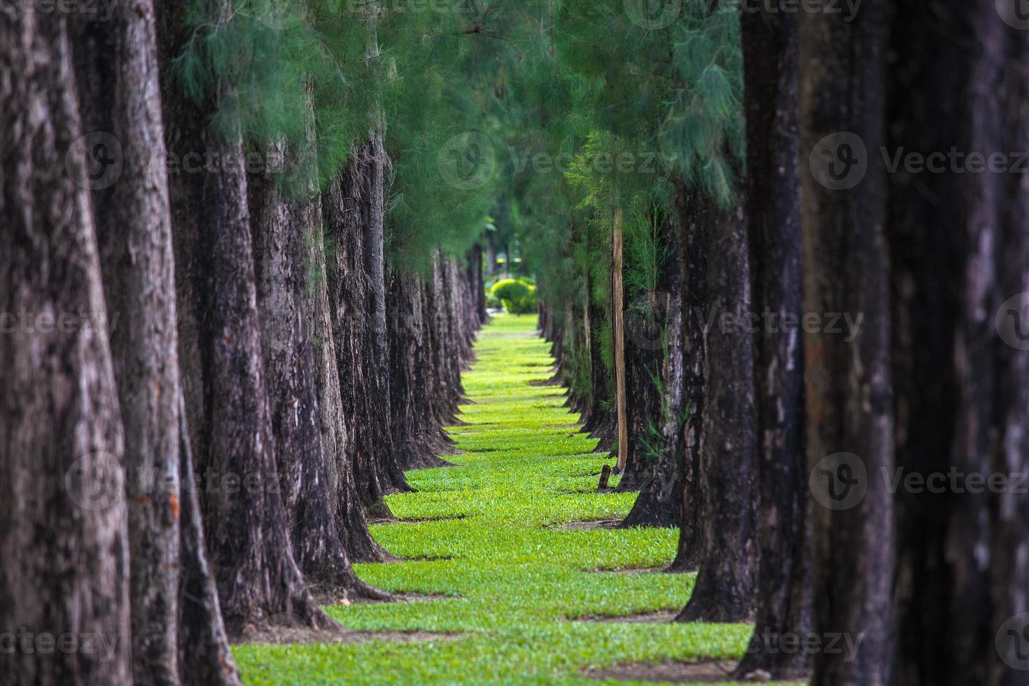 pino y hierba foto