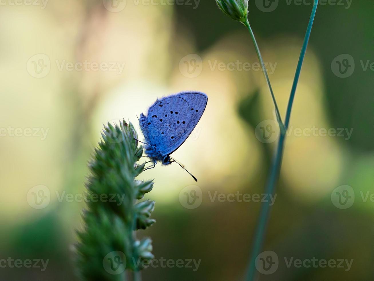 Cupido (Everes) alcetas - Provencal Short Tailed Blue. photo