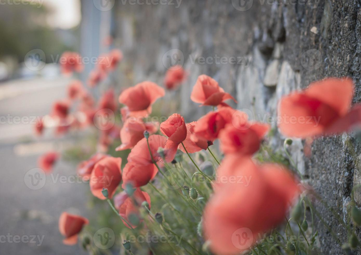 Red poppies on the sidewalk photo