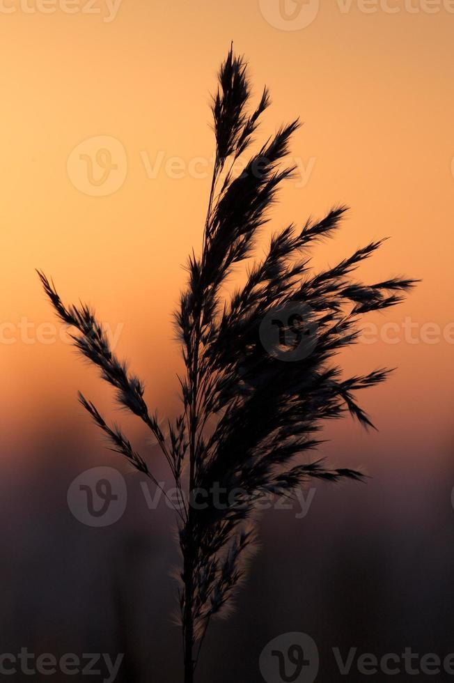 Backlit reeds photo