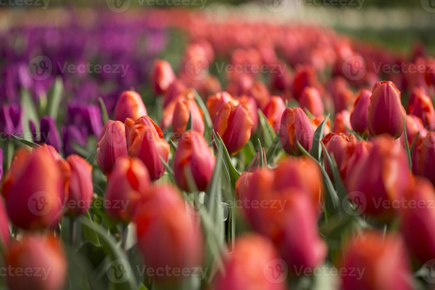 Red and purple tulips photo