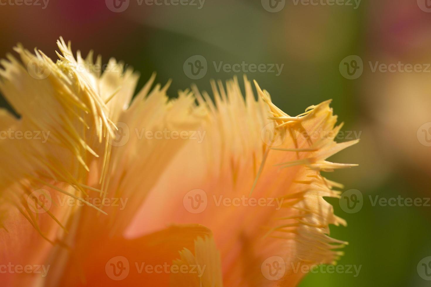 Petal of orange tulip photo