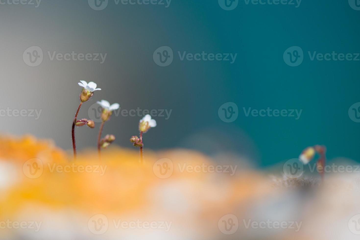 wild white rock flowers - selective focus, copy space photo