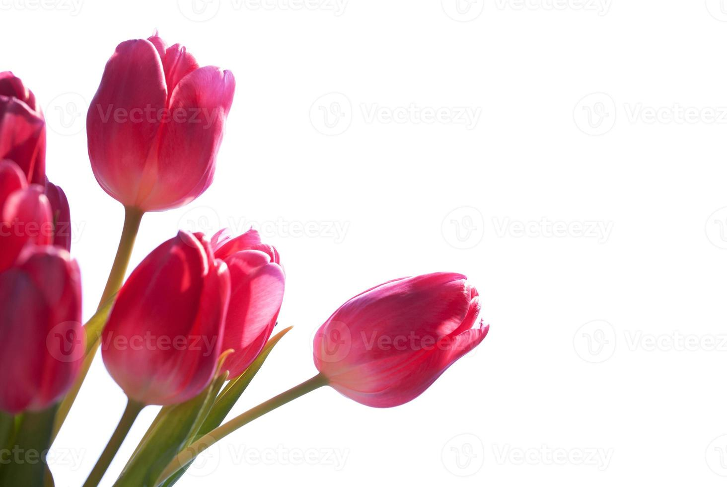 Close Up Of Tulip Bouquet Isolated With Copy Space photo