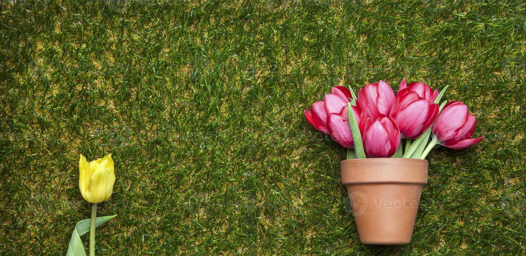 Tulipanes en hierba, maceta y tulipán amarillo aislado, espacio de copia foto