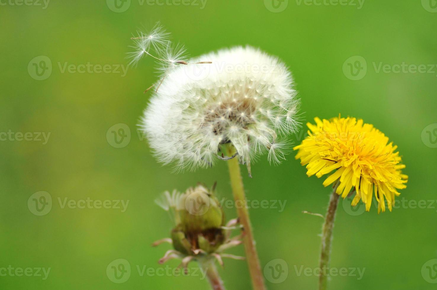 Dandelion that skip seed photo