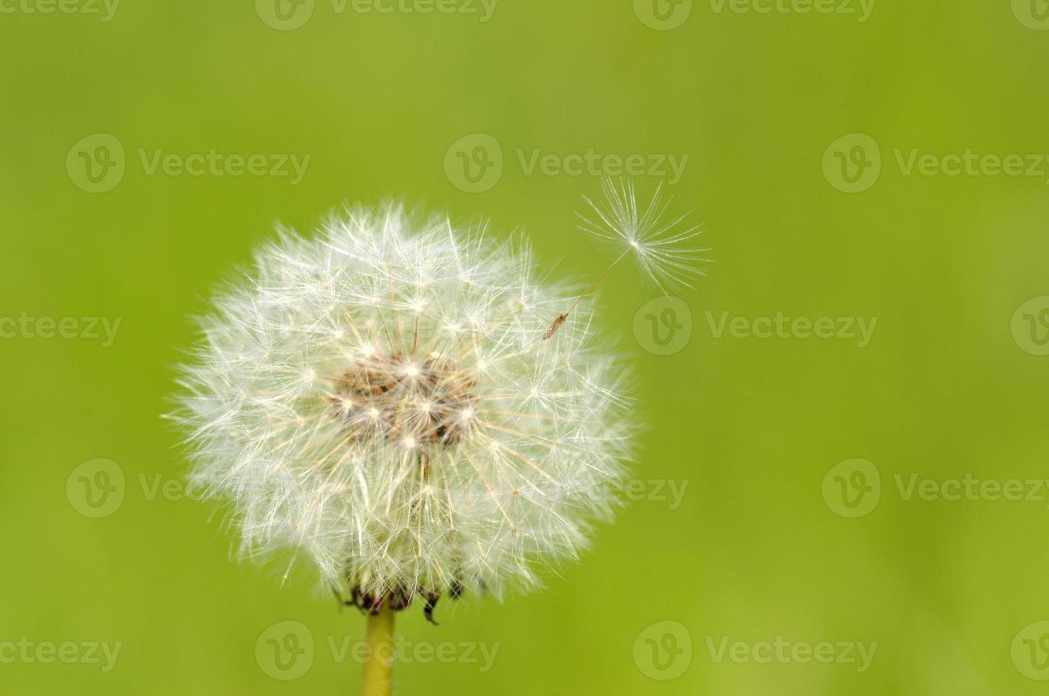 Cotton wool of the dandelion photo