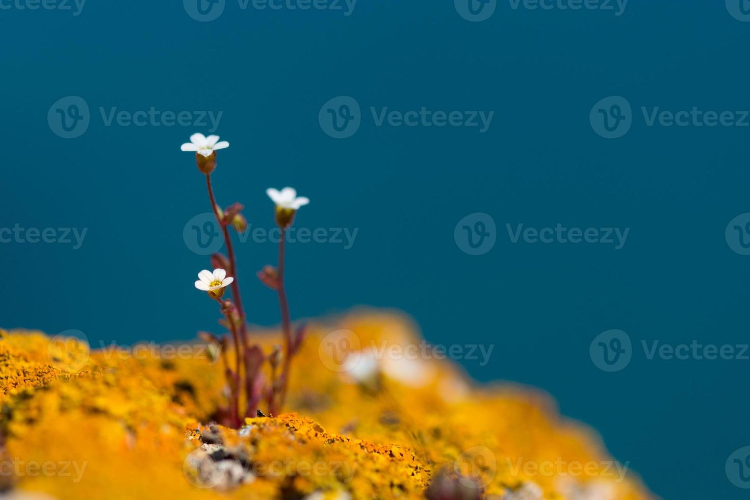 wild white rock flowers - selective focus, copy space photo