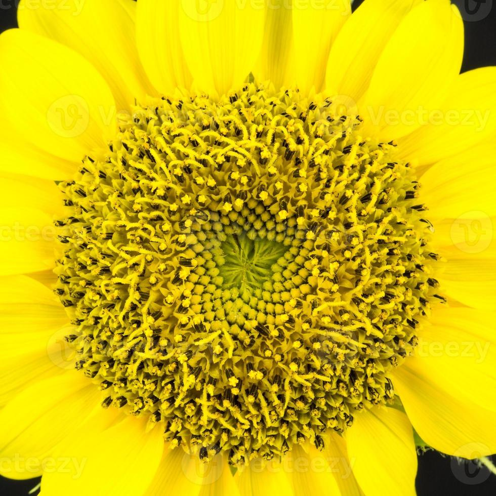 Sunflower close up photo